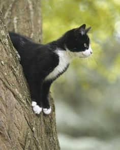 Tuxedo cat is not a breed of cats, named as tuxedo cat because of the black and white coat pattern fur that resembles tux. Pretty Cats, Beautiful Cats, Animals Beautiful, I Love Cats, Crazy Cats, Kittens Cutest, Cats And Kittens, Ragdoll Kittens, Funny Kittens