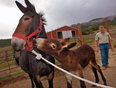 """Colbran rancher Larry Amos watches as the mule foal nuzzles its mother, Kate, a 7-year-old """"molly"""" that gave birththree months ago to the still-unnamed """"miracle"""" offspring. Genetic tests confirmed that the foal is Kate's."""