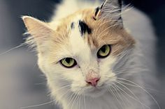 cat mostly white