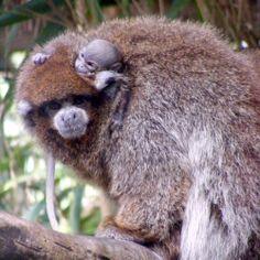 newborn monkey at chicago zoo