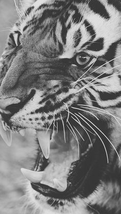 29 Best Tiger Images Angry Tiger Tigers Animal Pictures