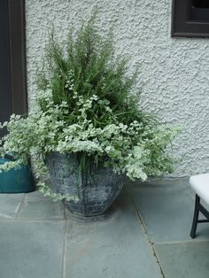 Rosemary, curly liriope, and variegated licorice....herb container gardening...very pretty