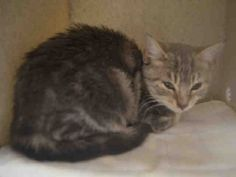 PATRICK - A1096437 - - Staten Island  Please Share:***TO BE DESTROYED 11/16/16*** REPEAT – 14 WEEKS OLD…GREAT AVERAGE BEHAVIOR RATING… -  Click for info & Current Status: http://nyccats.urgentpodr.org/patrick-a1096437/