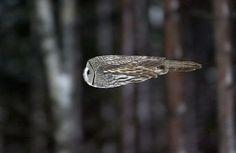 an owl in flight--incredible.