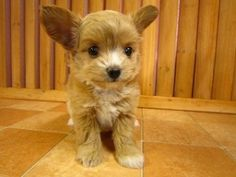 lovely poochi, chihuapoo, chihuahua toy poodle mix
