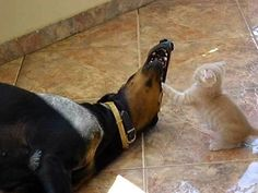 Doberman Showing Us What Patience is All About While a Little Kitten Plays With Him