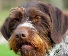 German wirehaired pointer wallpaper