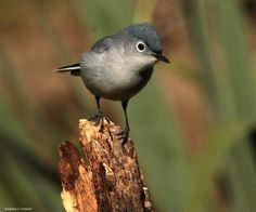 Blue-grey Gnatcatcher by Andrea Cowart on Capture Memphis // These little songbirds are busy and very curious