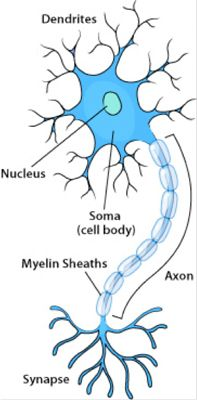 Neuron Label | Anatomy - Neurons | Pinterest | Anatomy, School and ...