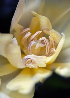 Tulip, photo by Clare H
