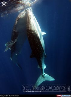 scarface whale shark rhincodon typus sail rock thailand