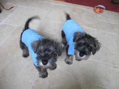 Mini Schnauzer Puppies Aged 8 Weeks