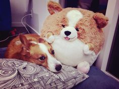 Wasabi's new friend #corgi #squishable