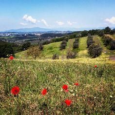 Veduta sulla #campagna #fiorentina in piena #primavera. Az. Agricola #Almamatersanvivaldo, #SanVivaldo, #Toscana.  #papaveri #Firenze #igerstoscana #igersitalia #igersfirenze #countryside #countrylife #olivi #olive #olivetree #paesaggio #panorama #castelfalfi #montaione #natura #nature #naturaleza #sole