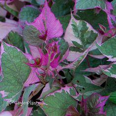 'Tricolor' Sweet Potato Vine (Ipomoea 'Tricolor') - Ipomoea - Sweet Potato Vine