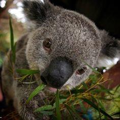 Pin By Crystal Yau On God S Amazing Creations With Images Koala Koala Bear Amazing Animal Pictures