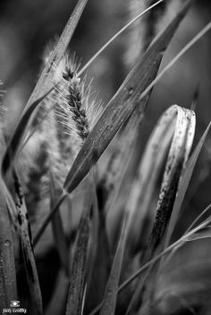 Meadow Grass Black and White by...