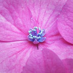 Hydrangea, by rotraud_71 BACK for a while -, via Flickr