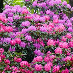 This family of plants has an option for every landscape. Garden Shrubs, Flowering Shrubs, Trees And Shrubs, Shade Garden, Garden Plants, Outdoor Plants, Rhododendron Care, Fresco, Front Yard Landscaping