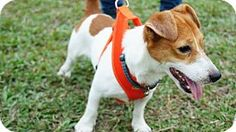 Vancouver, BC - Jack Russell Terrier/Basenji Mix. Meet Jacky, a dog for adoption. http://www.adoptapet.com/pet/17306831-vancouver-british-columbia-jack-russell-terrier-mix