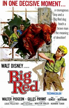 """Disney's """"Big Red""""  (1962) Based on a 1945 novel by American author Jim Kjelgaard and adapted to the screen by American screenwriter Louis Pelletier, the film starred Walter Pidgeon.""""Big Red"""" is an Irish Setter that would rather run through the woods than be the perfectly-trained and groomed show dog his sportsman owner (Pidgeon) wants. A ten-year-old orphan boy (Payant) helps look after the dog and rebels against his owner's strict discipline of """"Big Red."""""""
