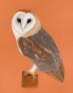 Barn Owl, coloured pencil