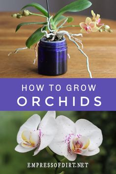 How to grow orchids as houseplants for beginners at home. Use these tips to get started growing orchids indoors. How to grow orchids as houseplants for beginners at home. Use these tips to get started growing orchids indoors. Water Culture Orchids, Orchids In Water, Indoor Orchids, Orchids Garden, Orchid Plants, Orchid Cactus, Orchid Flowers, White Orchids, How To Plant Orchids
