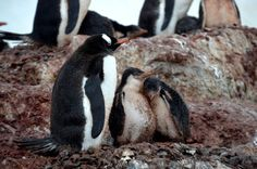 Antarctica is full of adorable animals. Check out these penguins, seals and whales for a dose of cuteness!