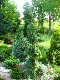 picea glauca Morton Tower . I want to get some type of tall upright growing ( with weeping branches) conifer for my small urban yard. Height is not an issue but I would like it to have a fairly small footprint in the yard. I live in northern Utah, along the wasatch front which is zone 6. I have seen some pictures of Picea Glau...