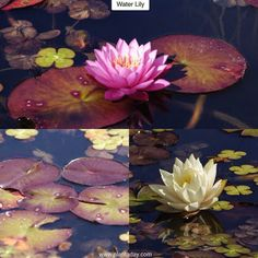 """Water Lily Nymphaea Type: Aquatic Exposure: Full Sun Water: Lots and Lots  Like many other plants with """"lily"""" in their name the Water Lily is not part of the lily family. Instead it belongs to a group of plants called """"Nymphaea"""" which features many named cultivars with a wide variety of colors and flower forms. Water lilies blooms most of which open at dawn and close at dusk (although some work the other way around) rise 6in (15cm) off the water surface but spread as much as 12ft (3.6m) with…"""