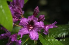The rhododendron called Azurro.
