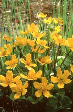 Mocsári gólyahír (Caltha palustris, Ranunculaceae) (Seregélyes Tibor felvétele)