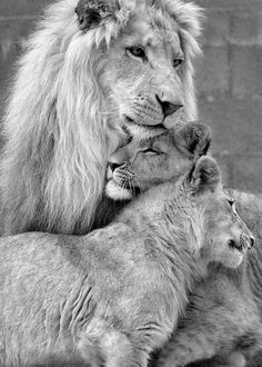 A lion family snuggling together.