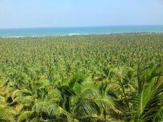 coconut farm - Praia do Gunga, Alagoas