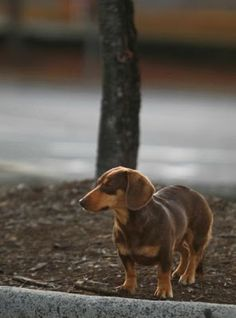 The Long and Short of it All: A Dachshund Dog News Magazine: You Can't Catch Me: Stray Dachshund Eludes Authorities and Community for Five Months!