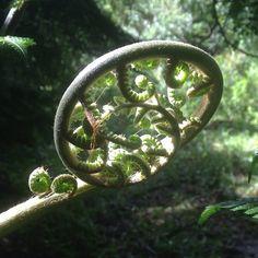 Fern frond unfurling #florestanacional #florestanacional #saofranciscodepaula #brazil