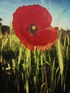 Poppy, Gemonde, Netherlands