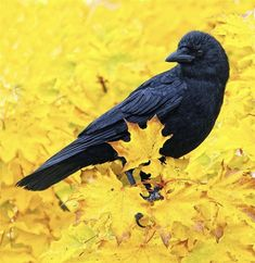 Autumn Gold Animals Images, Cute Animals, Raven Art, Crow's Nest, Jackdaw, Crows Ravens, Photography Contests, All Birds, Mellow Yellow