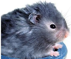 Long Haired Hamster Live Pet Small Petsmart She Looks Just Like My