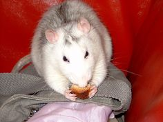 """How to Care for a Pet Rat in 11 Steps - I would love to have rats! I used to """"babysit"""" 2, and they were so clever."""