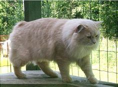 Cymric cat in Finland Pusheen Cat, Grumpy Cat, Canadian Cat, Cymric, American Bobtail, Manx Cat, Doug The Pug, Sphinx Cat, Cat Whisperer