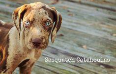 Sasquatch's Spitfire https://www.facebook.com/SasquatchCatahoulas