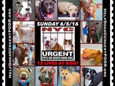 """6/5 Please Share! SUPER URGENT tap picture 11BEAUTIFUL LIVES OF DOGS TO SAVE 6/4TO BE DESTROYED STARTING 12NOON PLEASE SAVE US WE ONLY HAVE A FEW MINS / HOURS TO LIVE BEFORE WE GO TO DOGGY HEAVEN THANK YOU PLEASE REPIN AND SHARE THIS INFORMATION  TIME IS CRITICAL THANK YOU IRISH : . Please share! The shelter closes at 8pm. Go to the ACC website( http:/www.nycacc.org/PublicAtRisk.htm) ASAP to adopt a PUBLIC LIST dog (noted with a """"P"""" on their profile) and/or work with a rescue group if you…"""