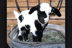 Little Goat!
