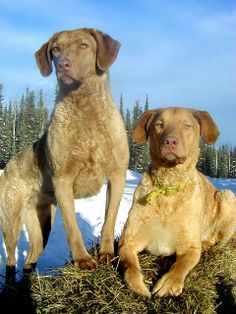 Chesapeake Bay Retrievers I've never seen this color!!!