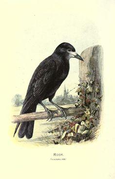 Rook, Familiar Wild Birds, W. Swaysland, 1883.
