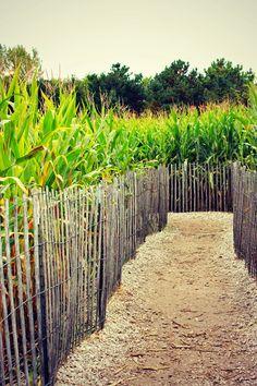 Autumn pictures #corn #cornmaze