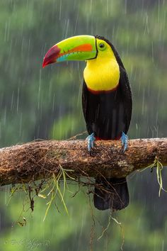 beautiful-wildlife:  Rain…bow by Erik AlpízarKeel-billed Toucan, Costa Rica