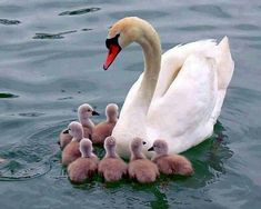swan with little cygnets