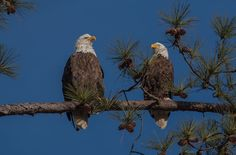 Berry College Eagle Cam. Eagle Gallery 9